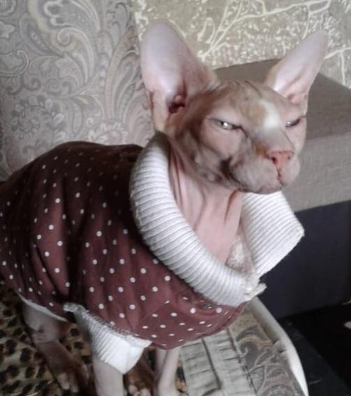 кошка породы сфинкс, домашнее животное, помощь