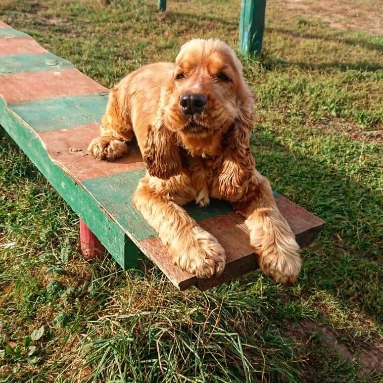 собака, английский кокер-спаниель, площадка для выгула собак