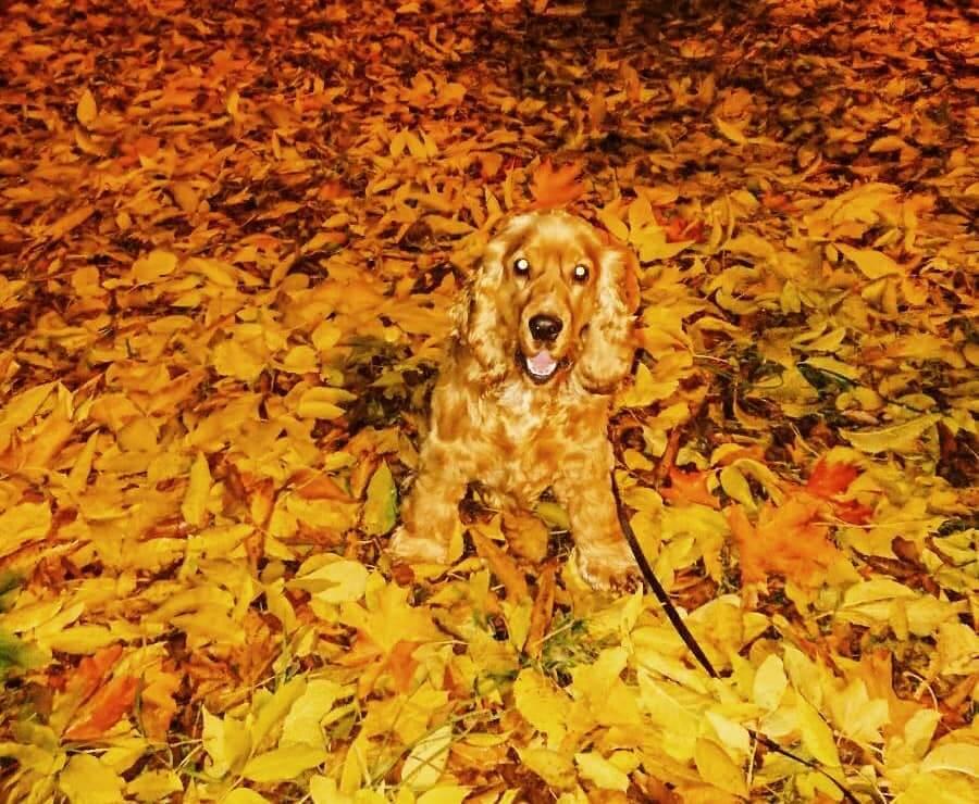 золотая осень, рыжая собака, кокер-спаниель, собака