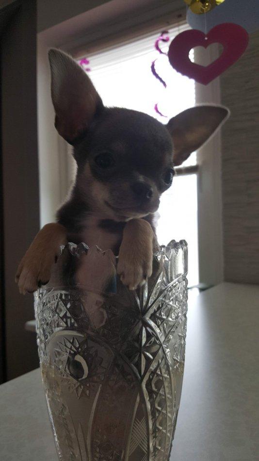 собака, ваза, чихуахуа, мелкая порода