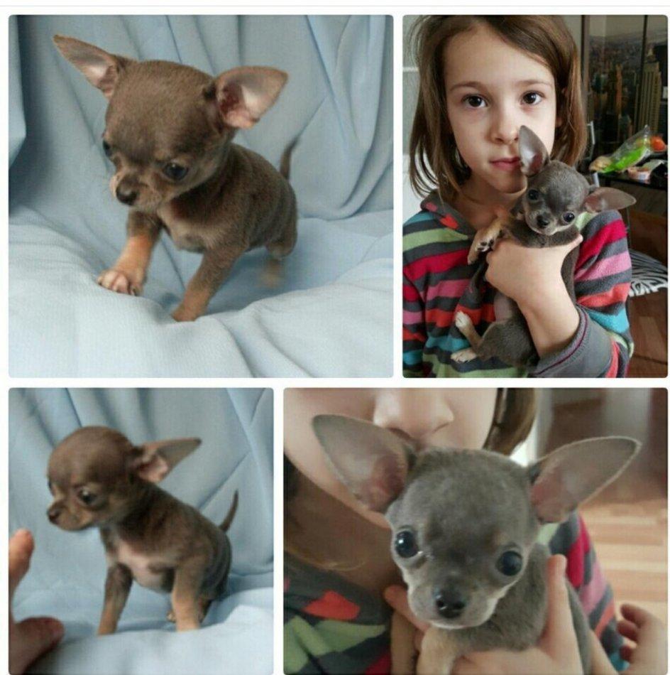 собака, чихуахуа, щенок, девочка, ребенок, животное