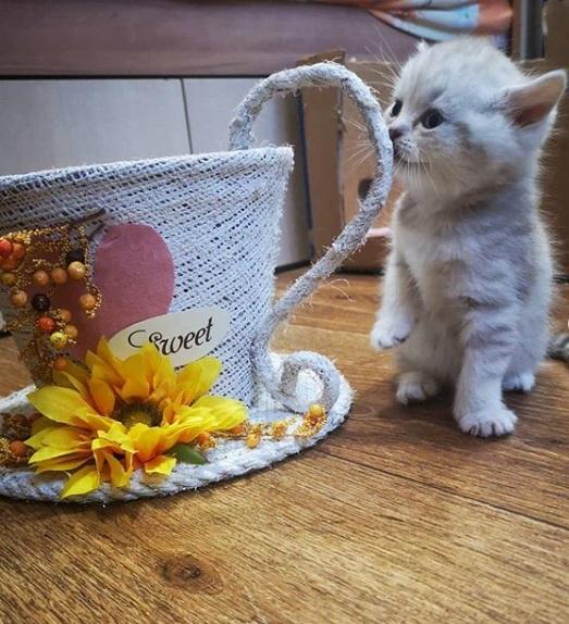 кошка, шотландскай вислоухая, котенок, кружка, сладкий