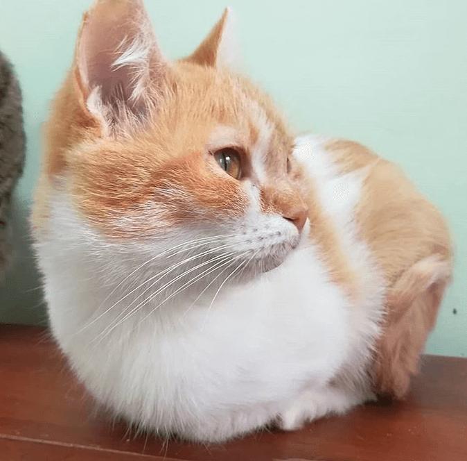 кошка, мордочка, питомец, кот