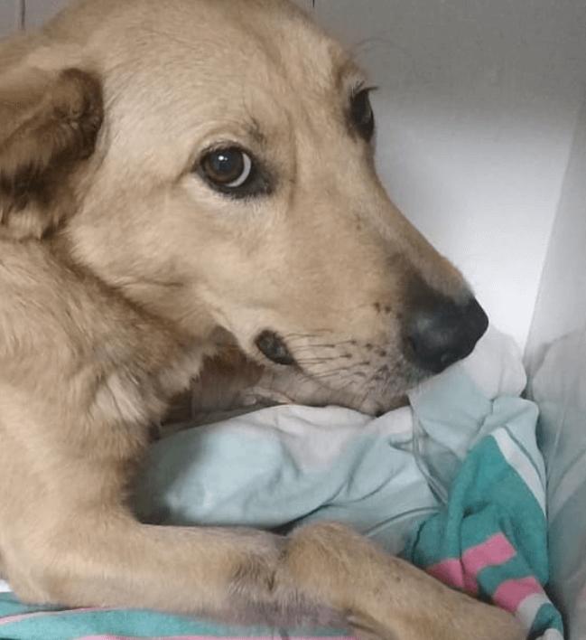 собака, лапа, клиника, полотеце, плед