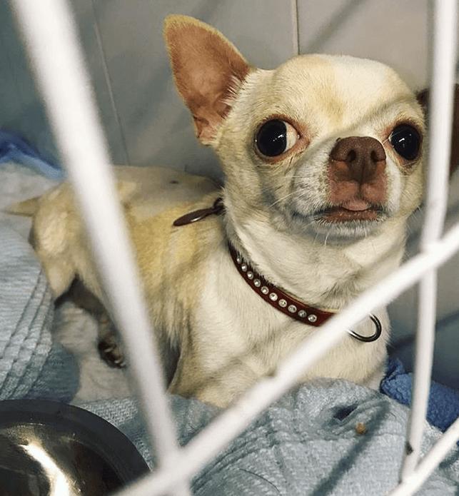 клетка, собака, чихуахуа, одеяло, миска