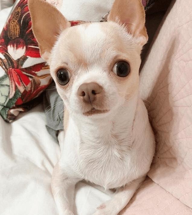 пес, питомец, кровать, одеяло, чихуахуа