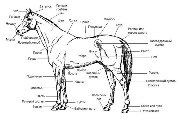 Задняя часть тела лошади