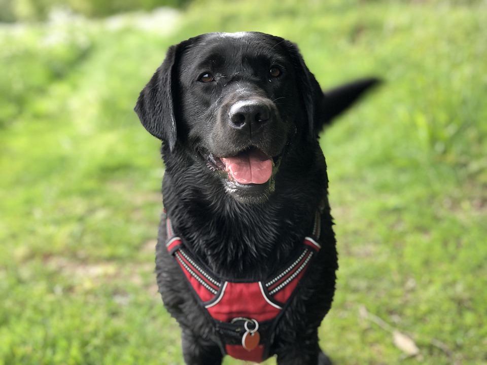 Черный лабрадор собака виляет хвостом фото