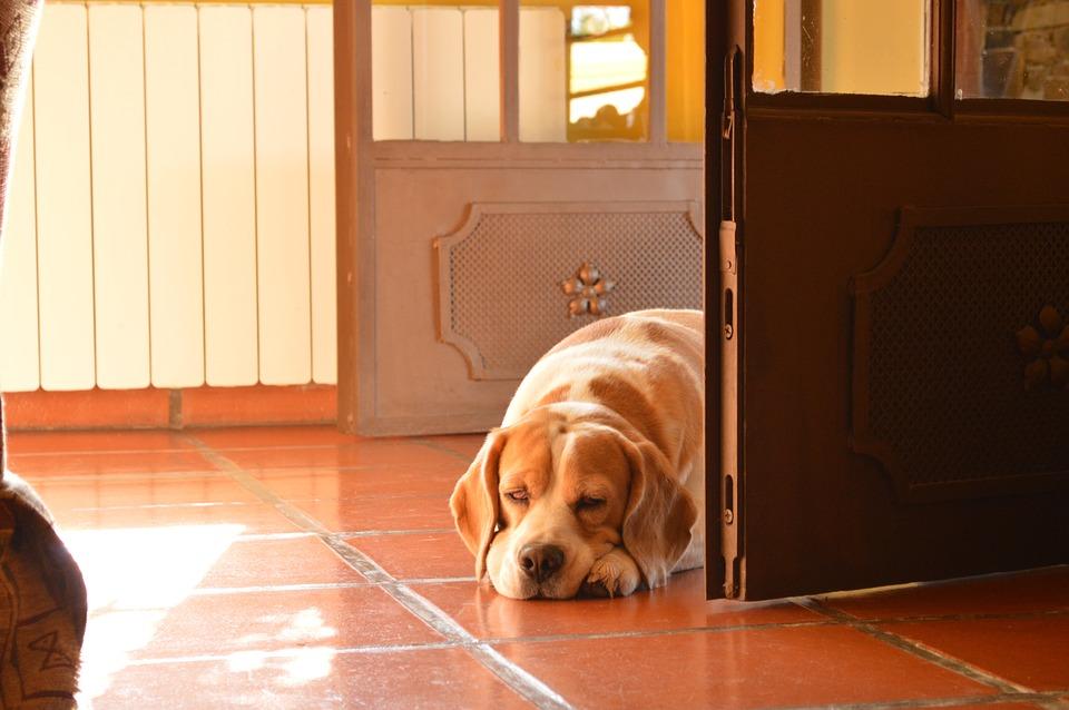 Бигль собака лежит фото