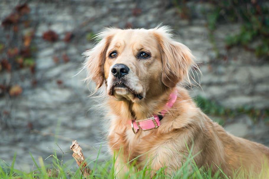 Собака ретривер смотрит в камеру фото