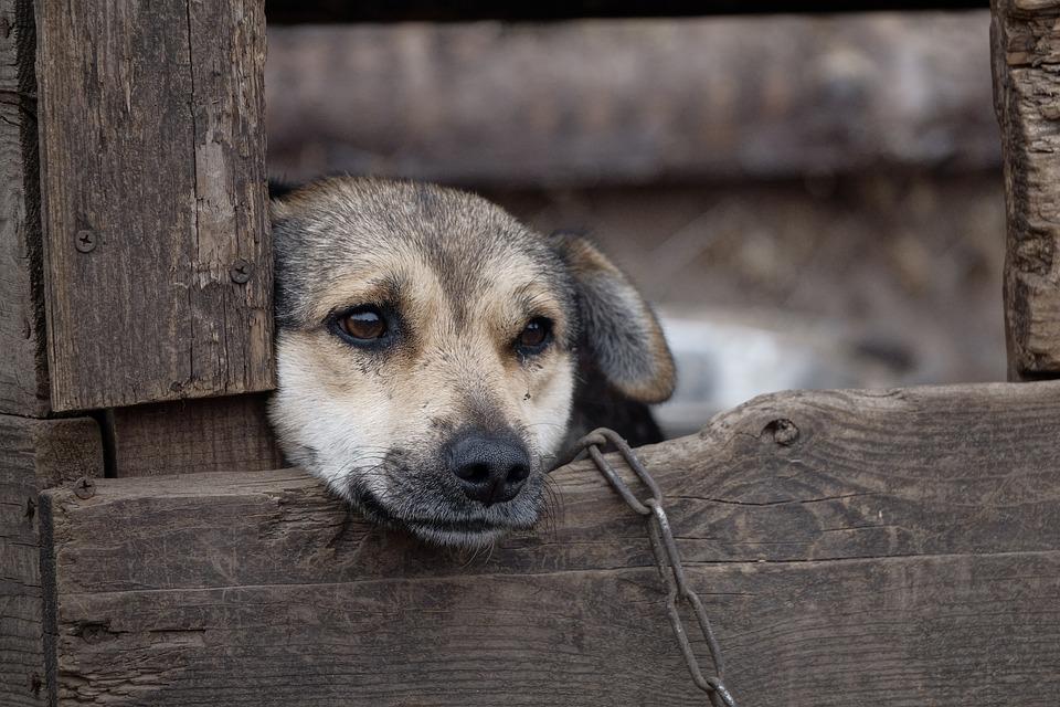 Собака на цепи фото