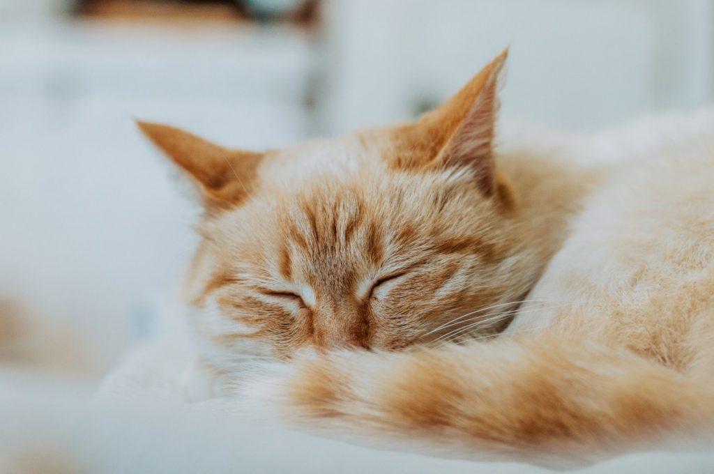 Рыжая кошка спит фот крупным планом