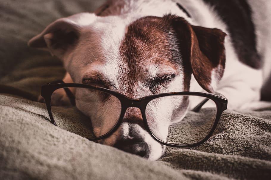 Собака в очках спит фото