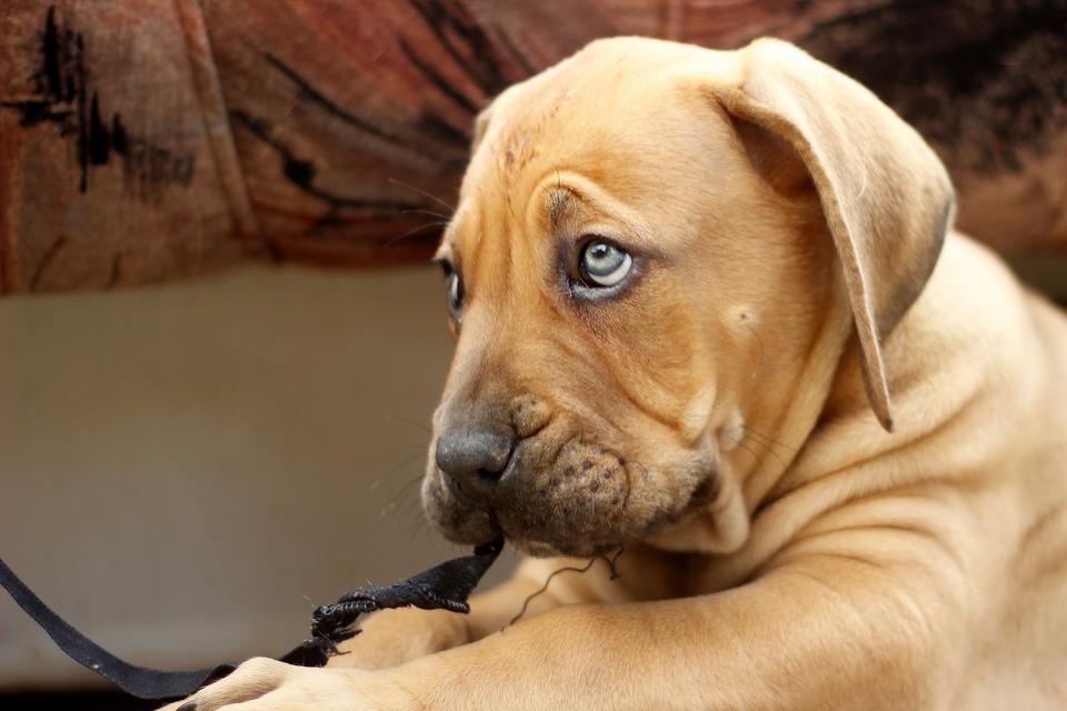 Грустный рыжий щенок с голубыми глазами фото