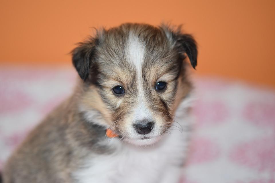 Маленький пушистый рыжий щенок крупным планом фото