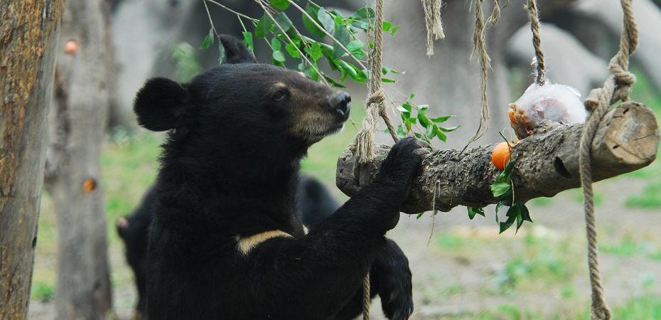 Обогащенная среда для животных гималайский медведь фото