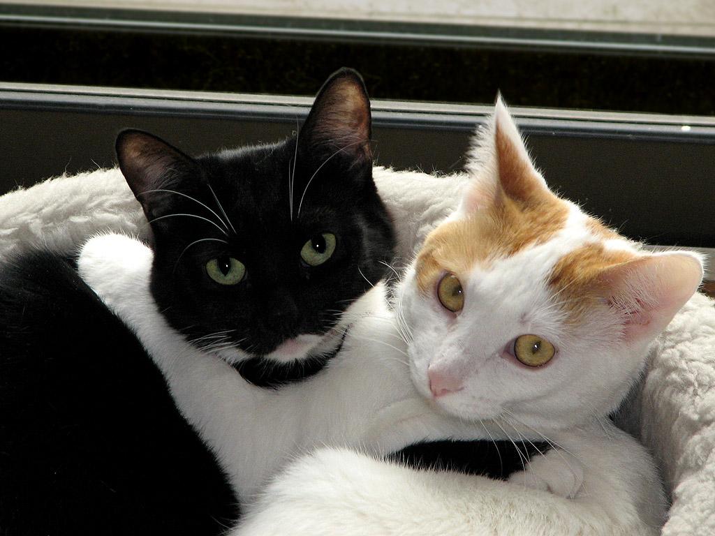 Черно-белая и рыже-белая кошки лежат обнявшись фото