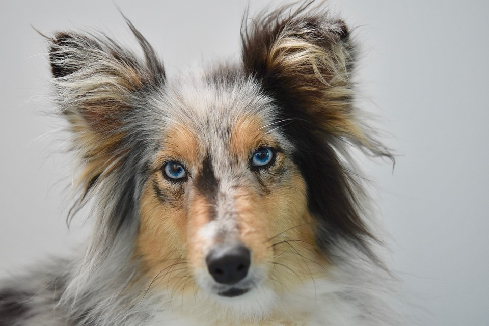 Собака с голубыми глазами крупным планом фото