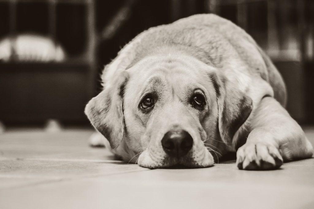 Грустная собака лабрадор лежит фото