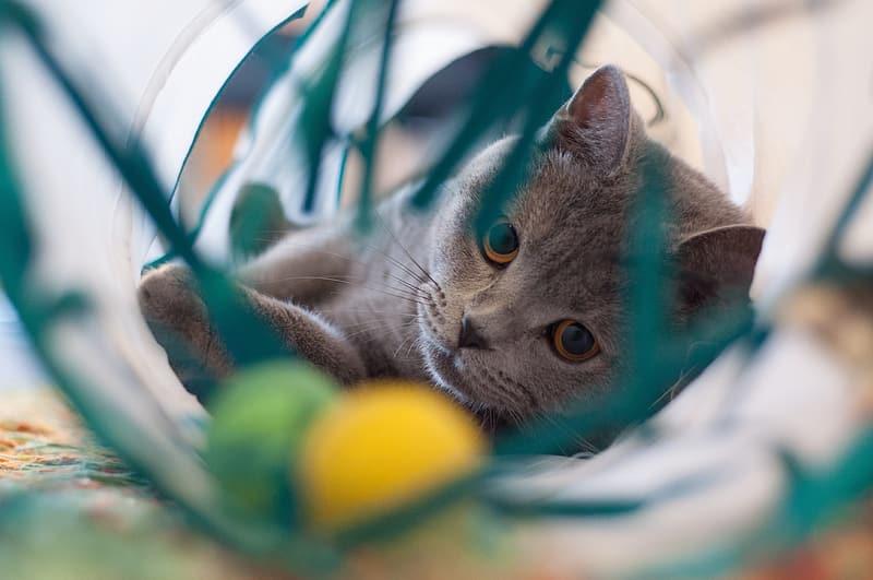 Серая кошка играет фото