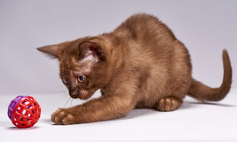 Кошка играет с красной игрушкой фото