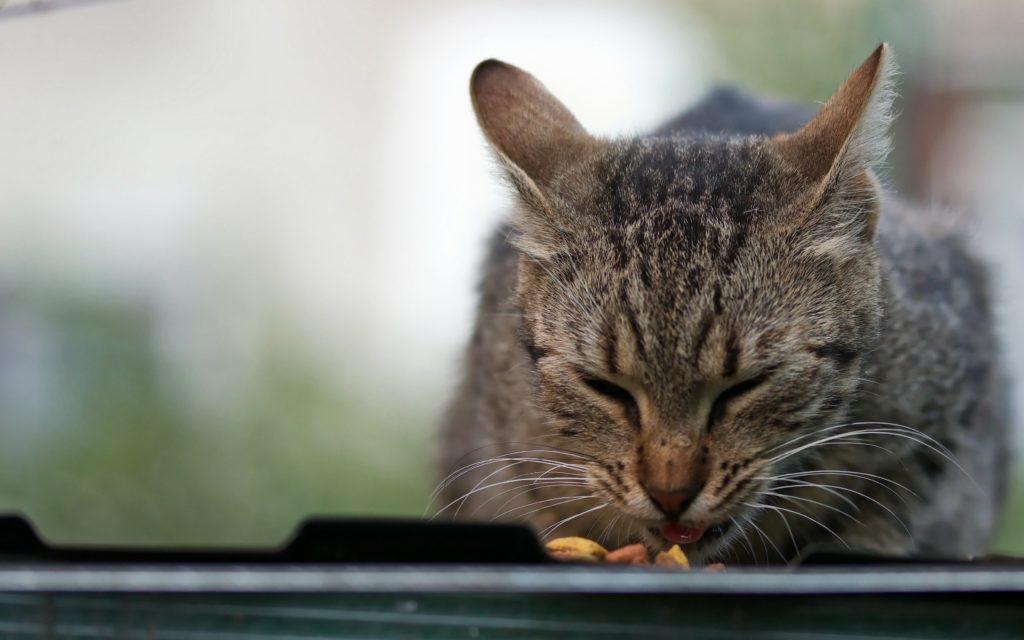 Кошка ест крупным планом фото