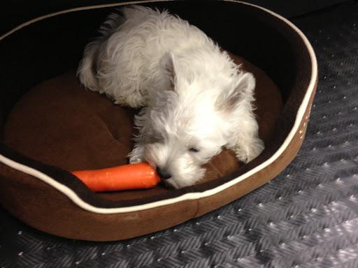 Щенок вест-хайленд-уайт терьера ест морковку фото