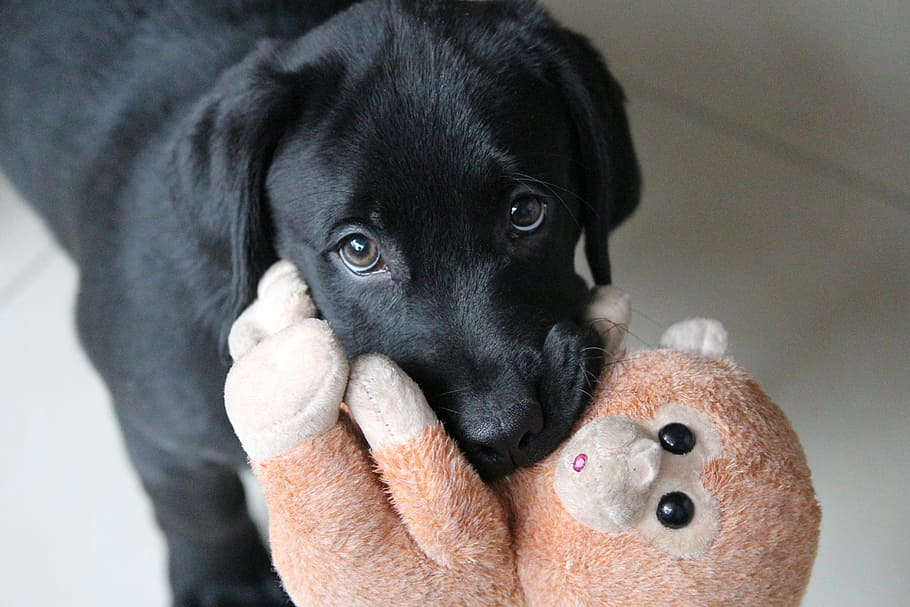 Черный щенок лабрадора с игрушкой обезьяной фото крупным планом