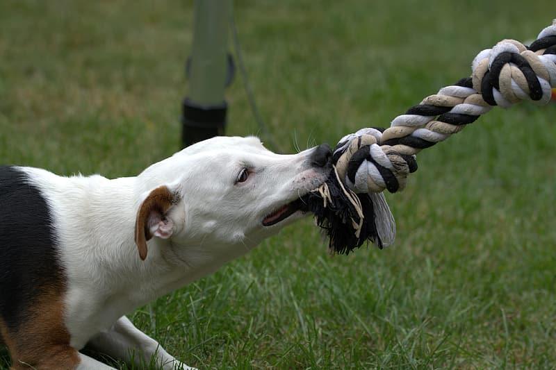 Белая собака тянет игрушку канатик фото крупным планом