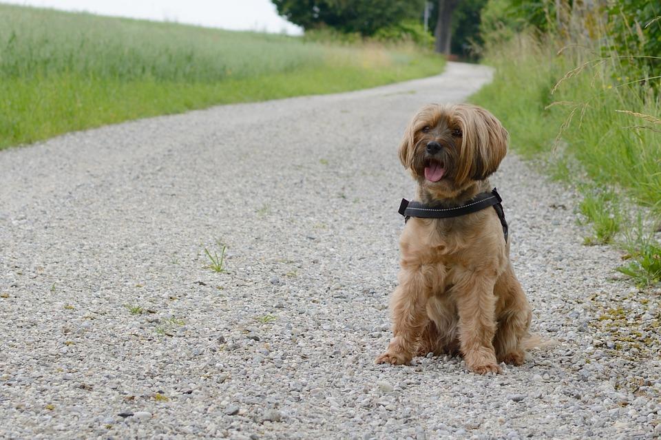Коричневая лохматая собака сидит на дороге фото