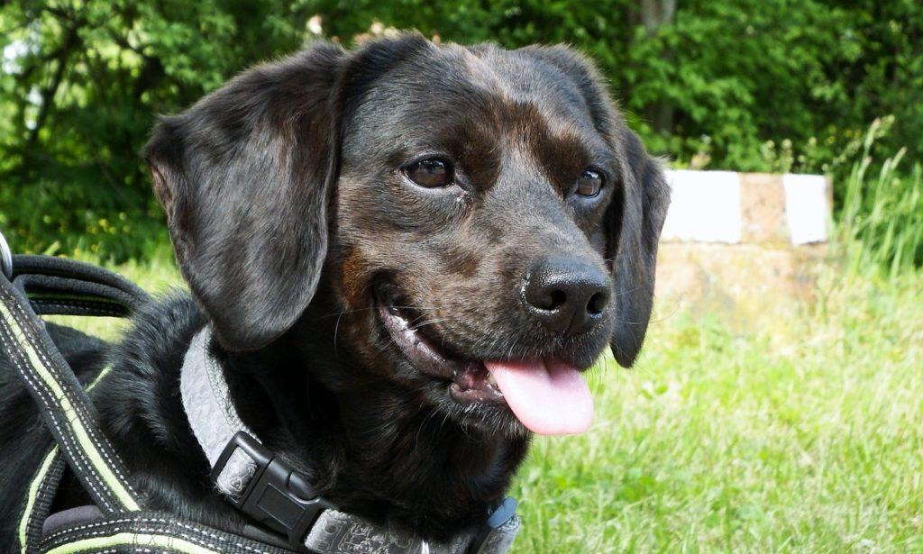 Черная собака с висячими ушами крупным планом фото