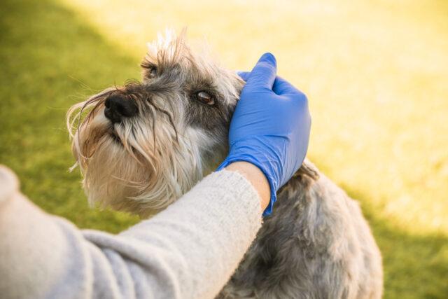 Человек гладит собаку миттельшнауцера крупным планом фото