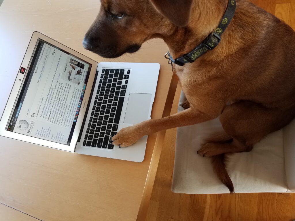 Рыжая собака в офисе за ноутбуком фото