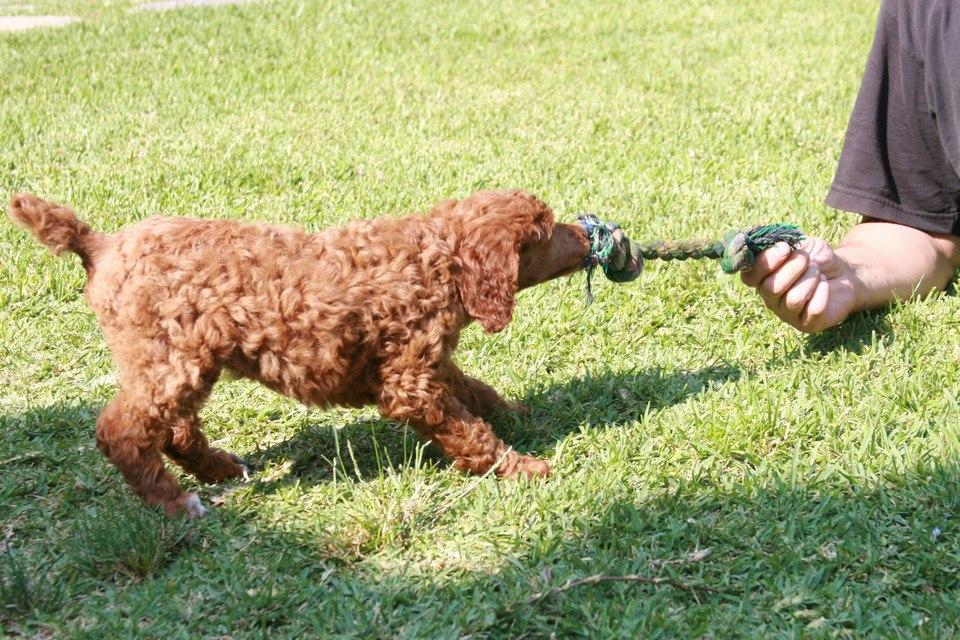 Пудель играет в перетяжки с человеком фото