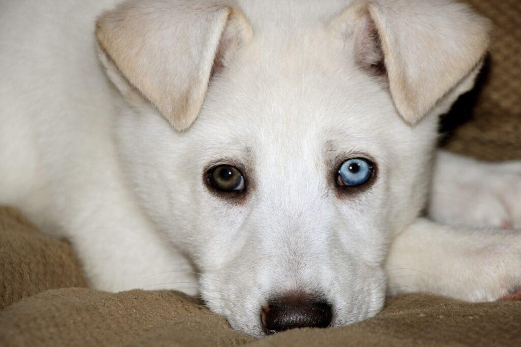 Белый щенок с голубым и карим глазами фото