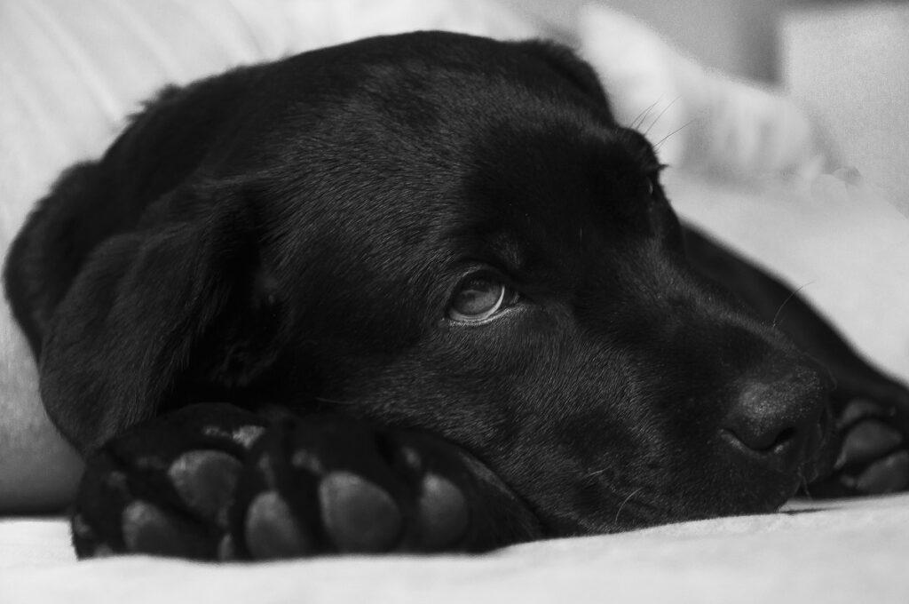 Черный лабрадор собака лежит грустный крупным планом фото