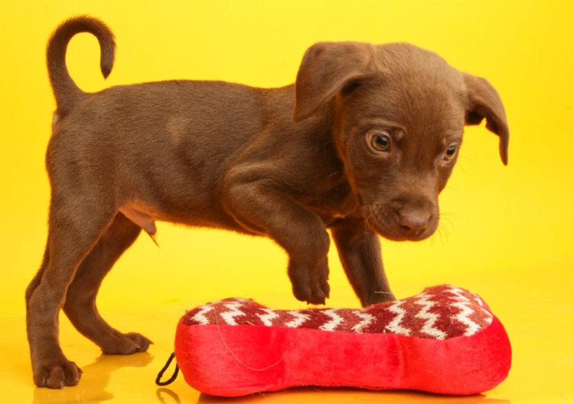 Коричневый щенок фото