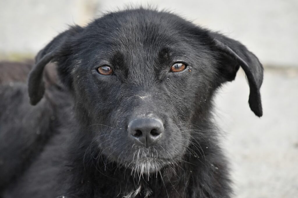 Черная собака смотрит в камеру крупным планом фото