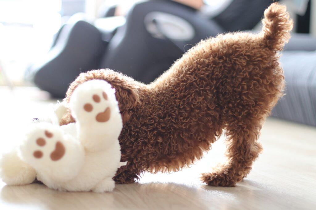 Щенок коричневый кучерявый играет с игрушкой фото
