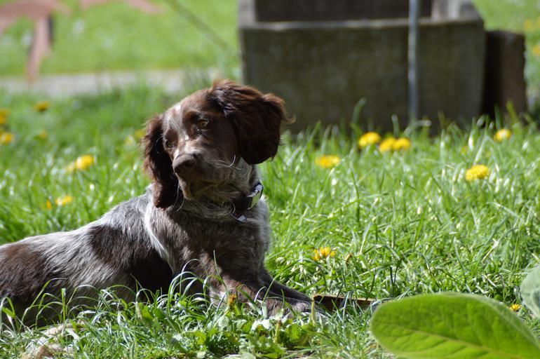 Охотничья собака лежит на траве фото
