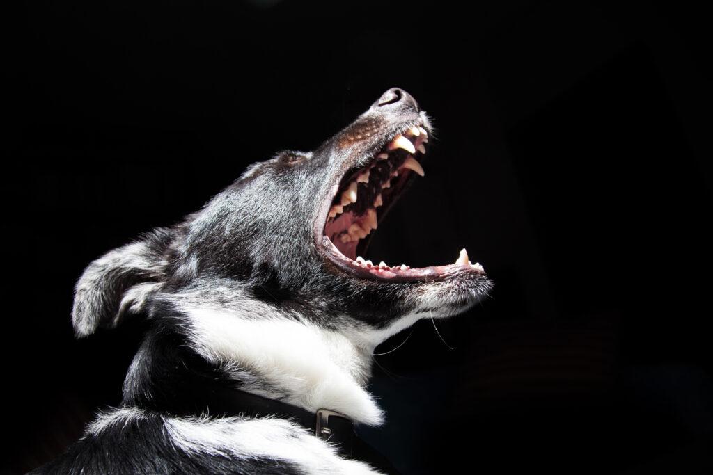 Собака лает крупным планом на черном фоне фото