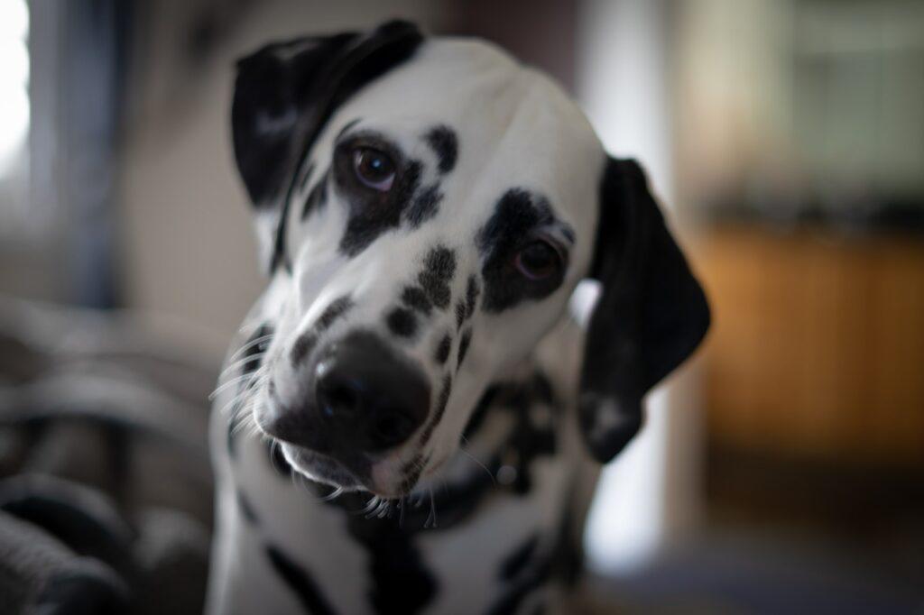 Далматин собака наклонил голову крупным планом фото