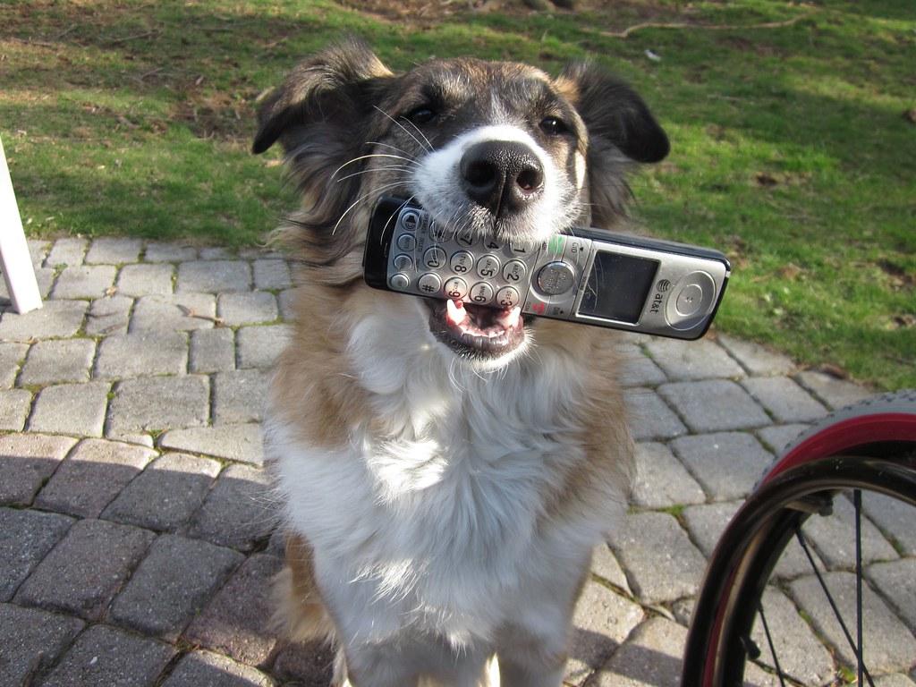 Собака держит в зубах телефон фото