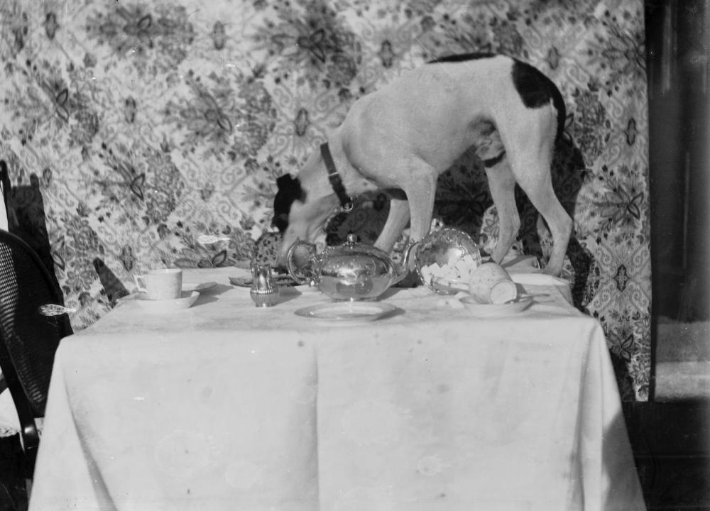 Собака ворует еду со стола, собака на столе фото черно-белое