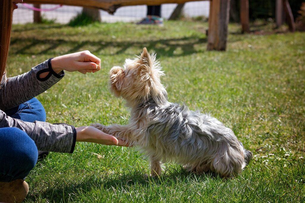 Дрессировка маленькой собаки йоркширского терьера фото