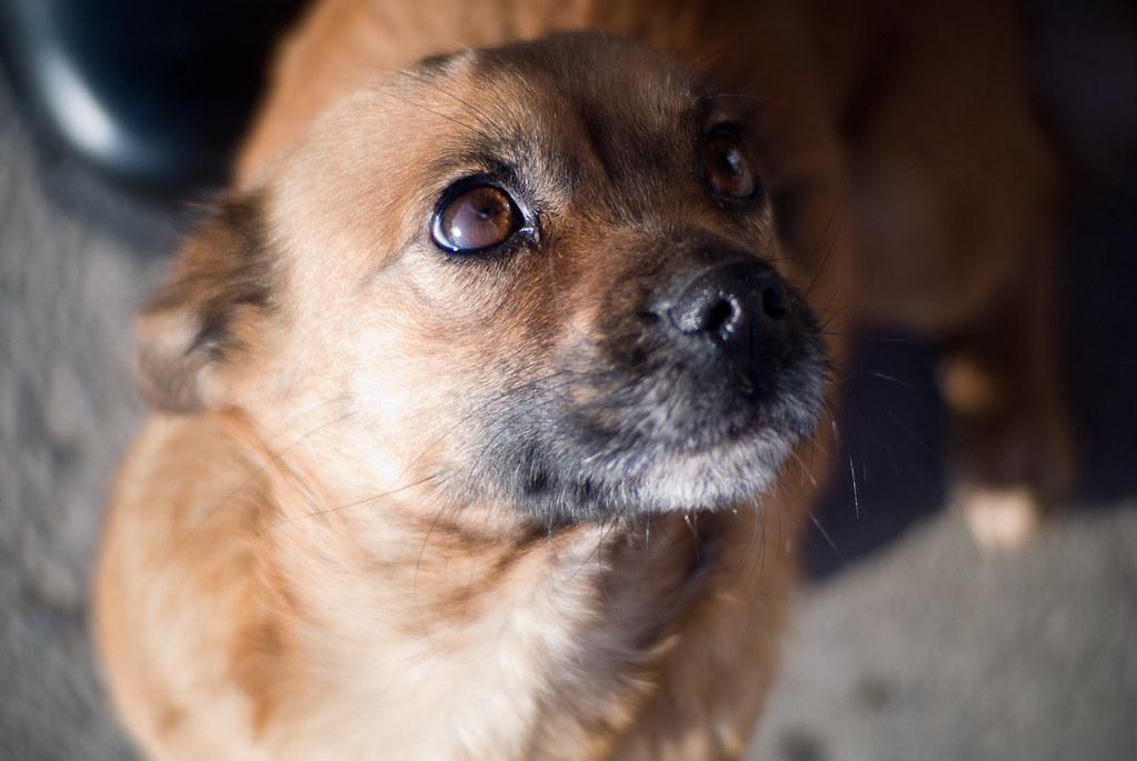 Рыжая собака смотрит на хозяина фото крупным планом