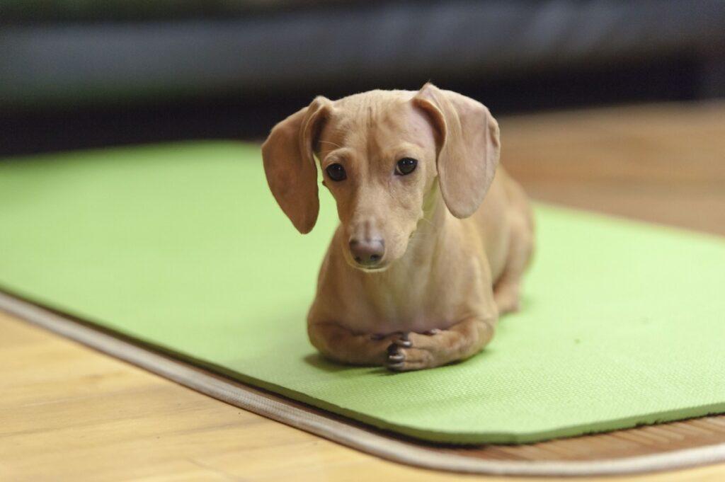 Собака такса лежит на коврике фото