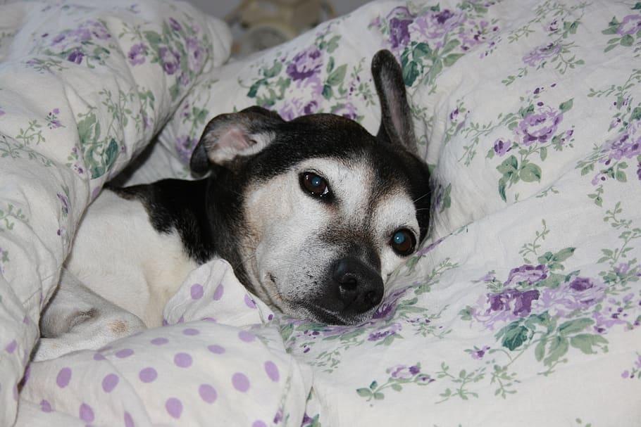 Собака лежит на кровати под одеялом фото крупным планом