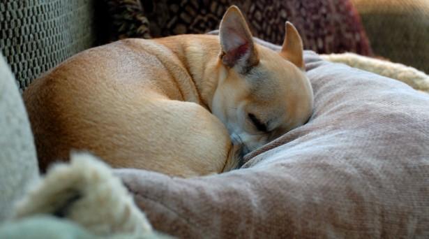 Чихуахуа спит фото
