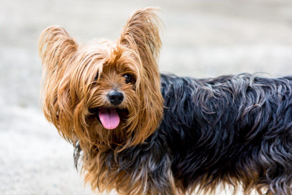 Йоркширский терьер маленькая собака фото крупным планом